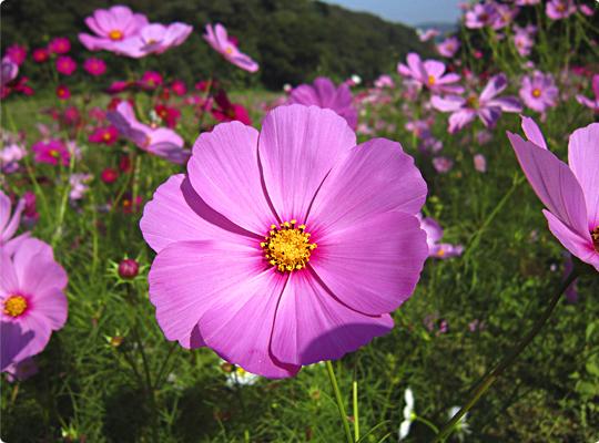 kosumosu2_07.jpg