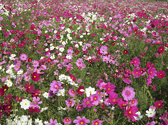 kosumosu2_09.jpg